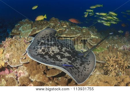 Marbled Stingray