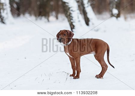 cute Rhodesian Ridgeback dog on winter background