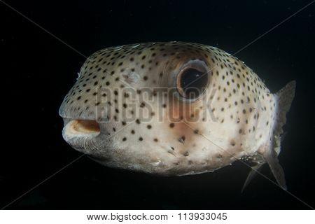 Porcupinefish fish