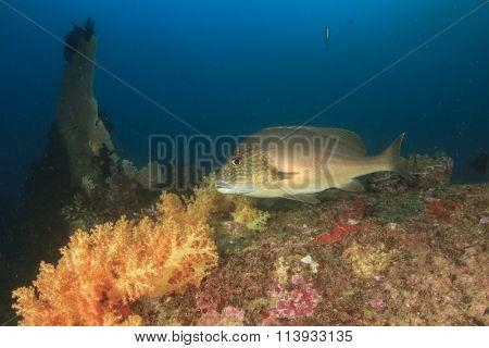 Sweetlips coral reef sea ocean fish