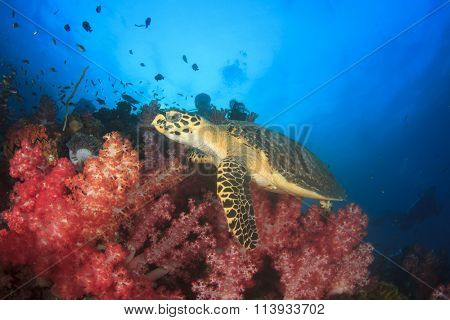 Hawksbill Sea Turtle feeds on coral while scuba diver watches it on background