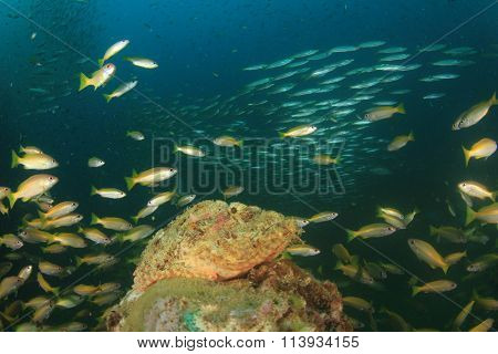 Scorpionfish with snapper and barracuda fish in background