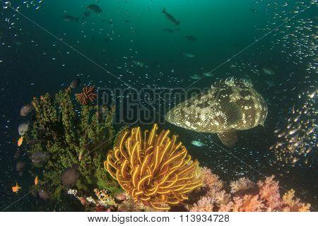 Coal reef grouper fish