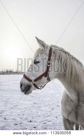 Closeup portrait of white horse at frozen winter day