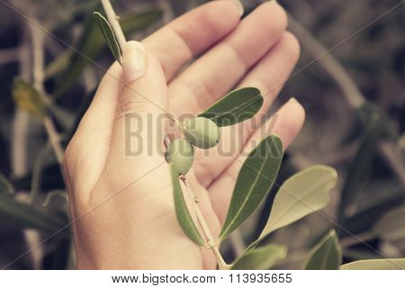 Hand holding olive tree branch