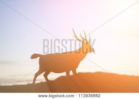 Sambar's silhouette standing on a small hill, it is slow and confident moving.