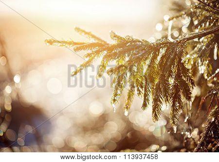 Frozen Brunch Pine In Winter Sunny Day.