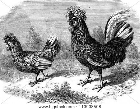 Rooster and Hen Houdan, vintage engraved illustration. Magasin Pittoresque 1880.