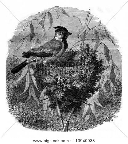 The Tiaris ornate and her nest, vintage engraved illustration. Magasin Pittoresque 1876.