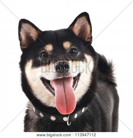 Siba inu dog isolated on white