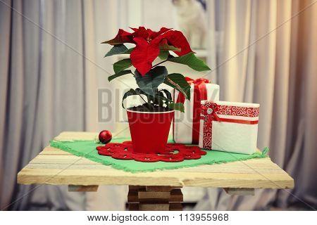 Christmas flower poinsettia on home interior background