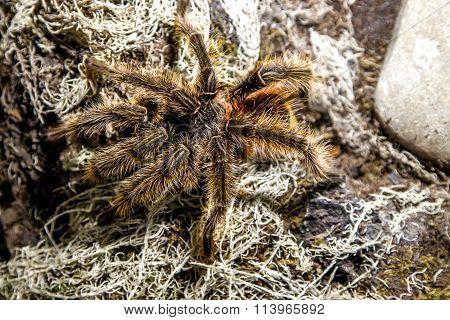 Animal Spider Theraphosa Blondi