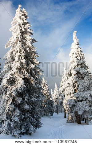 Beautiful Wintry View Of Snowy Wood On Mountains