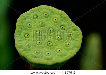 Lotus fruit