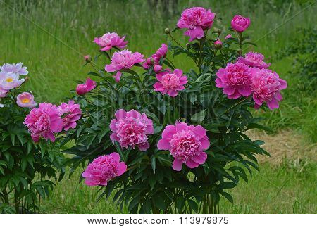 A bush with pink peonies.