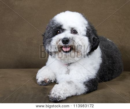 black and white poodle mix recently groomed with pink bows in hair wearing a collar