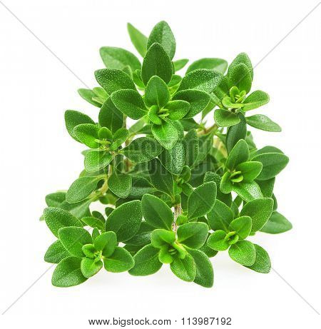 Thyme fresh herb isolated