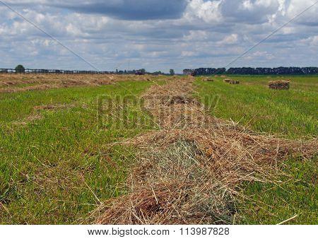 Harvested timothy hay  on farm field