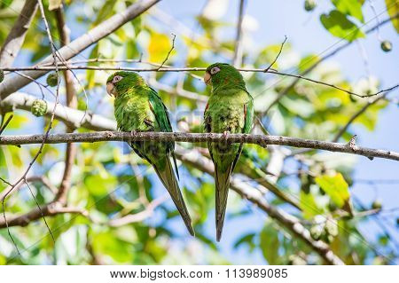 Cuban Parakeet , Aratinga Euops, An Endemic Species Of Cuba