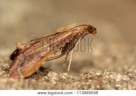 Endotricha flammealis moth
