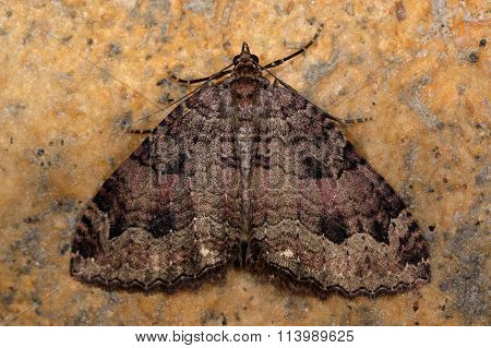 The tissue moth (Triphosa dubitata)