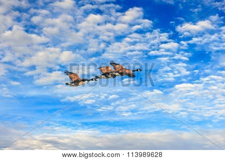 Canadian Geese Flying High Against Blue Sky