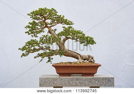 Chinese Elm Bonzai