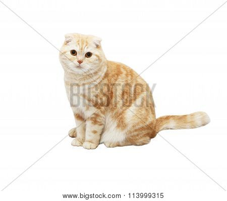 Cream Tabby Scottish Fold cat on white background