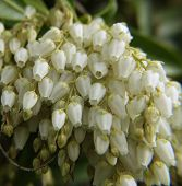 Lily Of The Valley 01