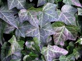 pic of english ivy  - a background of english ivy hedera helix with its newer glossy dark green leaves and older green and purple leaves - JPG