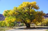 stock photo of cottonwood  - Beautiful Cottonwood Tree in Autumn - JPG