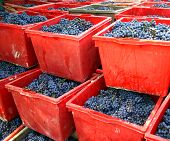 The Grapes Are Picked