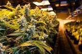 Indoor Marijuana bud under lights. This image shows the warm lights needed to cultivate marijuana. poster