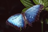 picture of blue butterfly  - blue and black tipped butterfly perched on a leaf - JPG