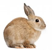 image of wild-rabbit  - Bunny rabbit in front of white background - JPG
