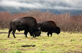 stock photo of white vinyl fence  - American Bison (Buffalo) Grazing, Near Chugach Alaska