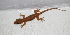 picture of hemidactylus  - A common House Gecko  - JPG