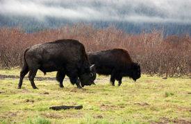 stock photo of white vinyl fence  - American Bison (Buffalo) Grazing, Near Chugach Alaska ** Note: Slight graininess, best at smaller sizes - JPG