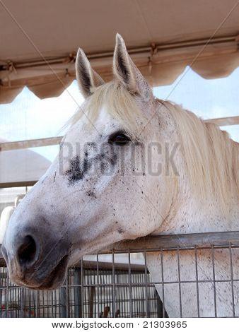 Cavalo garanhão