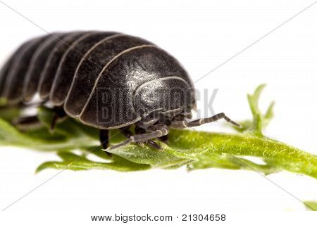 Woodlice Bug