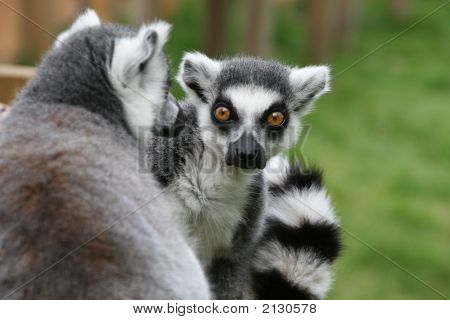 Lemurs Close Up