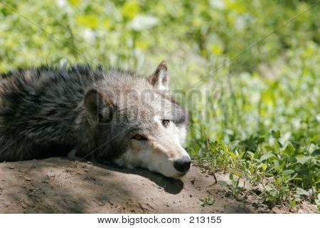 Grey Wolf Img_2404