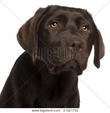 Close-up of Labrador Retriever puppy, 5 months old, in front of white background