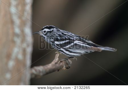 Black And White Warbler   028 J