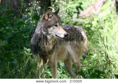 Grey Wolf 2 Img_2891