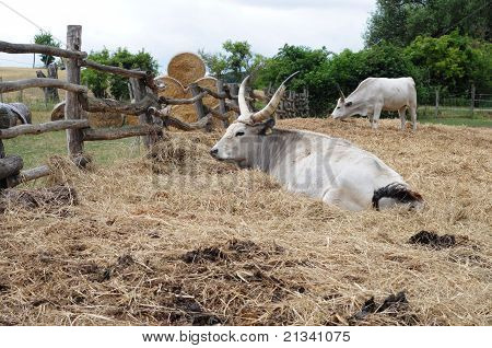 Grey Cattle
