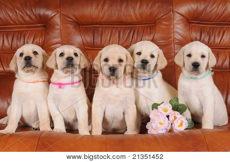 Group Of Labrador Puppies
