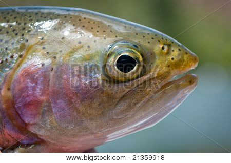 Close Up Of A Rainbow Trout's Head