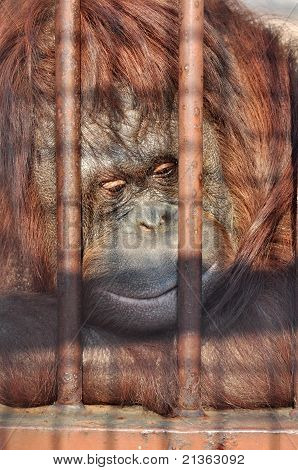 Orang-utan In The Zoo