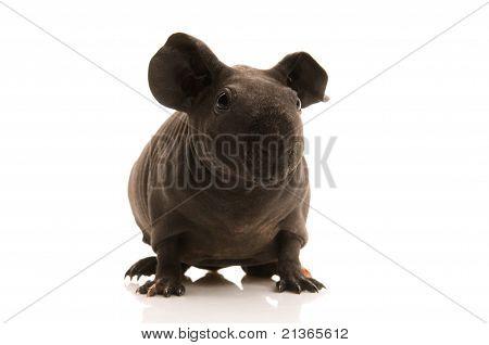 Skinny Guinea Pig